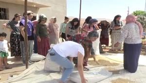 """Mezopotamya'nın """"en eski buğday tohumu""""nda 20 ton rekolte"""