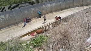 Kaçan boğanın arkasından kanala atladı