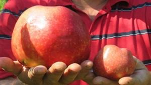 Bayramiç'te yetişen 1 kilo 105 gramlık elma şaşırttı