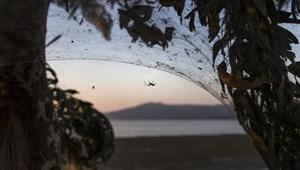 Sahili örümcek ağları kapladı, halk paniğe kapıldı